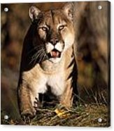 Stalking Mountain Lion Acrylic Print