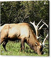 Stand Alone Elk Acrylic Print by The Kepharts