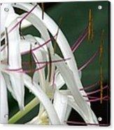 Standing Ovation Acrylic Print