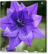 Star Balloon Flower Acrylic Print