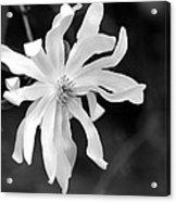 Star Magnolia Acrylic Print by Lisa Phillips