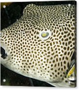 Star Puffer Fish Being Cleaned Acrylic Print