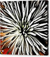 Starburst Acrylic Print by Yvonne Scott