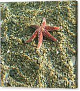 Starfish In Shallow Water Acrylic Print by Ted Kinsman