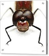 Staring At Red Dragonfly Acrylic Print