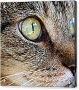 Staring Cat Acrylic Print