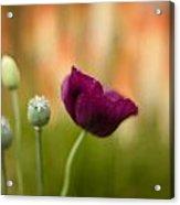 Stark Poppies Acrylic Print