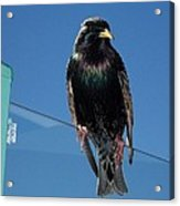 Starling At Santa Monica Pier Acrylic Print