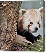 Stealthy Red Panda Acrylic Print