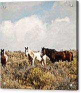 Steens Wild Horses Acrylic Print