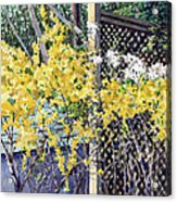Stella Magnolia And Forthysia Acrylic Print by Peter Sit