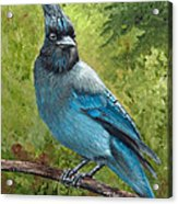 Stellar Jay Acrylic Print by Dee Carpenter