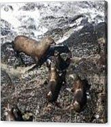 Steller Sea Lion - 0010 Acrylic Print