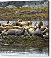 Stellers Sea Lion Eumetopias Jubatus Acrylic Print