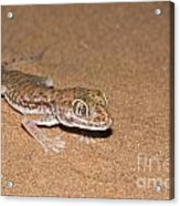 Stenodactylus Petrii Or Dune Gecko Acrylic Print