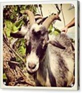 Steve My Goat Acrylic Print