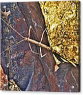 Stick Insect Acrylic Print