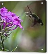 Stick Out Your Tongue Acrylic Print