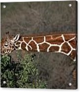 Sticking Your Neck Out Acrylic Print