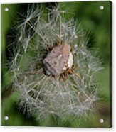 Stink Bug On Dandelion Seed Head Acrylic Print