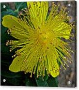 St.johns Wart Bloom Acrylic Print