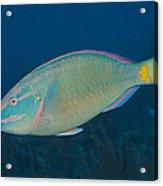 Stoplight Parrotfish On Caribbean Reef Acrylic Print
