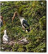 Storks Around A Nest Acrylic Print