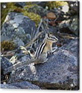 Straight Tailed Chipmunk On A Rock Acrylic Print