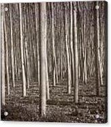 Straight Trees Acrylic Print