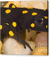 Strauchs Spotted Newt Acrylic Print