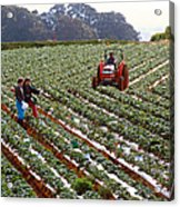 Strawberry Farm Acrylic Print