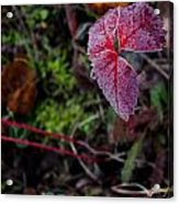 Strawberry Frost Acrylic Print