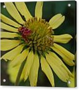Strawberry Moth On A Yellow Flower Acrylic Print