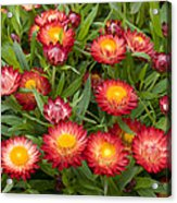 Strawflower Helichrysum Sp Red Variety Acrylic Print