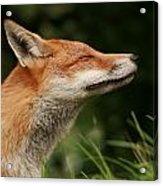 Stretching Fox Acrylic Print by Jacqui Collett