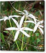 String Lily Acrylic Print