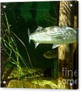 Striped Bass In Aquarium Tank On Cape Cod Acrylic Print