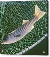 Striped Bass In Net.  The Fish Acrylic Print
