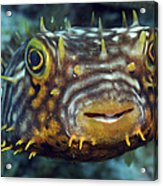 Striped Burrfish On Caribbean Reef Acrylic Print