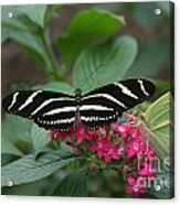 Striped Butterfly Acrylic Print