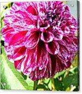 Striped Dahlia Acrylic Print