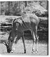 Striped Deer In Black And White Acrylic Print