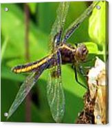 Striped Dragonfly Acrylic Print