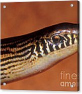 Striped Lateral Fold Lizard Acrylic Print