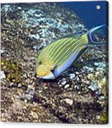 Striped Surgeonfish Acrylic Print by Georgette Douwma