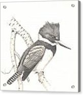 study for Belted Kingfisher painting Acrylic Print