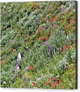 Subalpine Wildflowers Acrylic Print