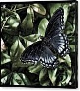 Subdued Butterfly Acrylic Print