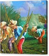 Sugar Cane Harvest Acrylic Print by Pretchill Smith