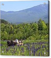 Sugar Hill Horse Tour And Lupines Acrylic Print